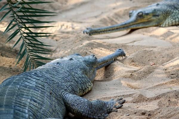 guindi national park crocodiles